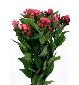 Bouvardia diamond coral 50 - BOUDIACOR