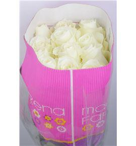 Rosa col white o´hara 60 - RCPRO