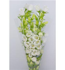 Campanula blanca - CAMBLA