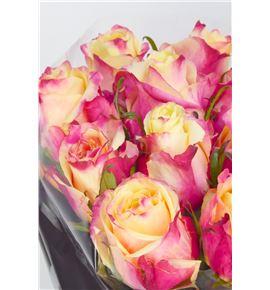 Rosa hol rigoletto 60 - RGRRIG