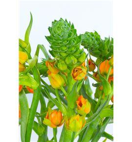 Ornitogalum dubium sunshine 35 - ORNSUPSTA
