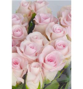 Rosa sweet akito 50 - RGRSWEAKI