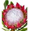 Protea cynaroides madiba 40 - PROCYN2