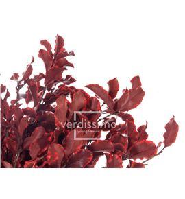 Pitosporum preservado pit/0203 - PIT0203-2-PITTOSPORUM