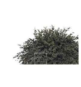 Eucaliptus parvifolia preservado par/0104 - PAR0104-2-EUCALIPTO