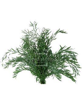 Eucaliptus nicoly preservado nic/0104 - NIC0104-2-EUCALIPTO