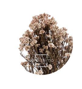 Flor de arroz preservado hdi/0000 - HDI0000-02-HELYCHRISIUM-DIOSMI