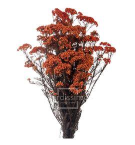 Flor de arroz preservado hdi/0530 - HDI0530-02-HELYCHRISIUM-DIOSMI