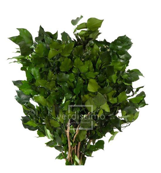Hiedra arborea preservado hed/4103 - HED4103-2-HIEDRA