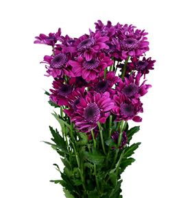 Marg hol stresa purple - MHSTRPUR