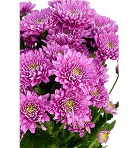 Marg hol romance purple - MHROMPUR