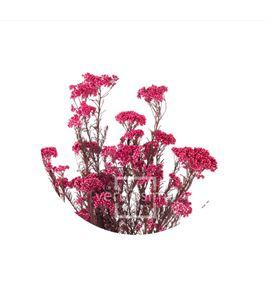 Flor de arroz preservado hdi/0440 - HDI0440-02-HELYCHRISIUM-DIOSMI
