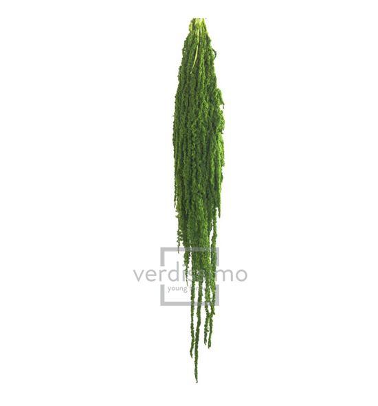 Amaranthus preservado lima ama/4124 - AMA4124-2-AMARANTHUS