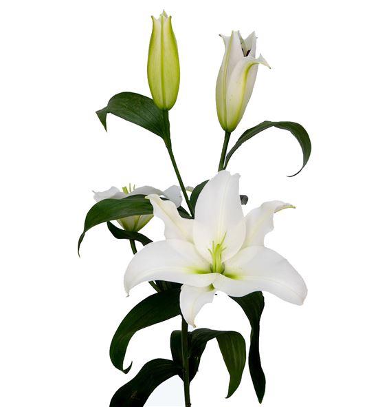 L.o. franson 1ª 2 flores - LOFRA