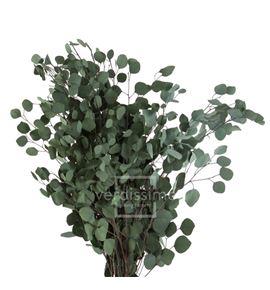 Eucaliptus populus preservado pop/0104 - POP0104-2-EUCALIPTO