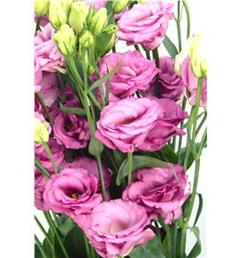 Lisianthus excal rose 75 - LISEXCROS