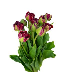 Tulipan emblazon 36 - TULEMB