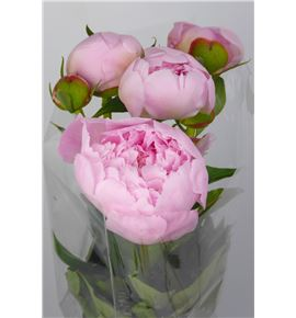 Paeonia alertie x5 45 - PAEALE