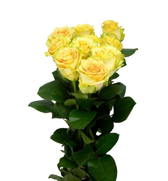 Rosa hol lemon finess 70 - RGRLEMFIN