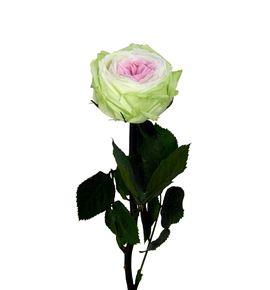 Rosa amorosa preservada mini garden prgt/6104 - PRG6104