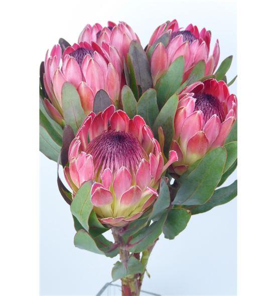 Protea silvia 70 - PROSIL