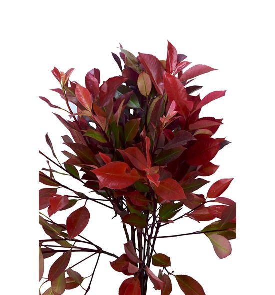 Photinia red robin 60 - PHOREDROB