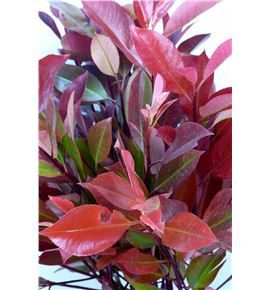 Photinia red robin 60 - PHOREDROB