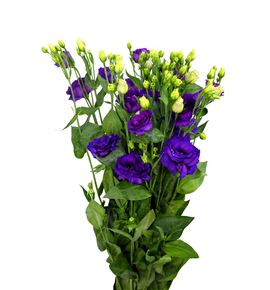 Lisianthus minuet purple 75 - LISMINPUR