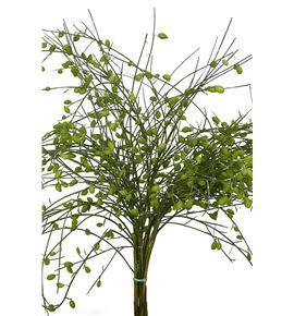 Genista fruto verde 65 - GENFRUVER