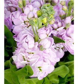 Matthiola centum pink 50 - MATMATPIN