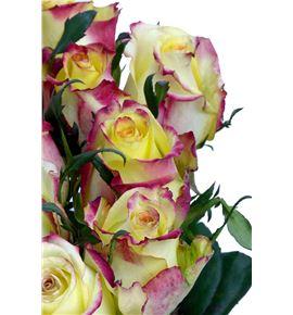 Rosa hol knox 70 - RGRKNO