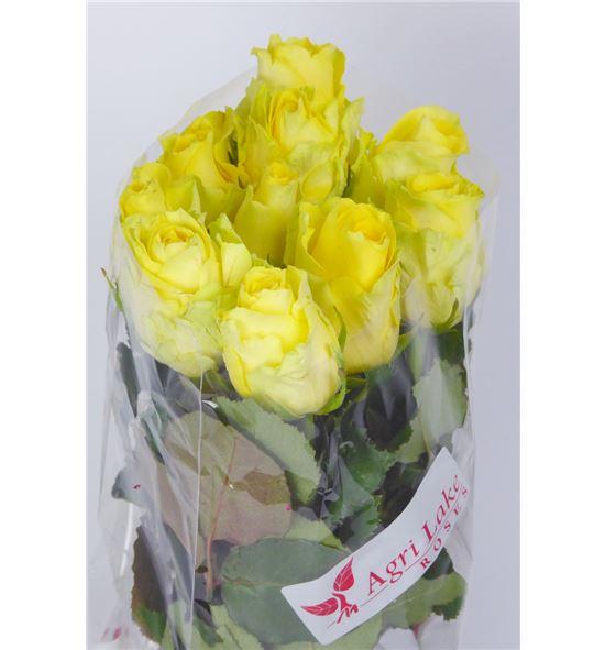 Rosa hol minion rose 60 - RGRMINROS