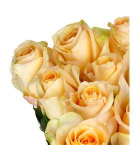 Rosa hol pink champaign 60 - RGRPINCHA
