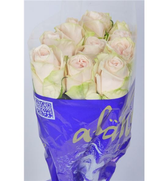 Rosa hol wedding rose 60 - RGRWEDROS