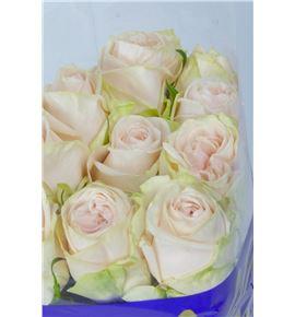 Rosa hol wedding rose 60 - RGRWEDROS