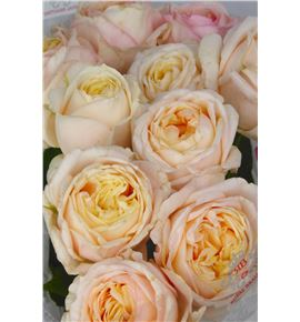 Rosa hol angie romantica 70 - RGRANGROM
