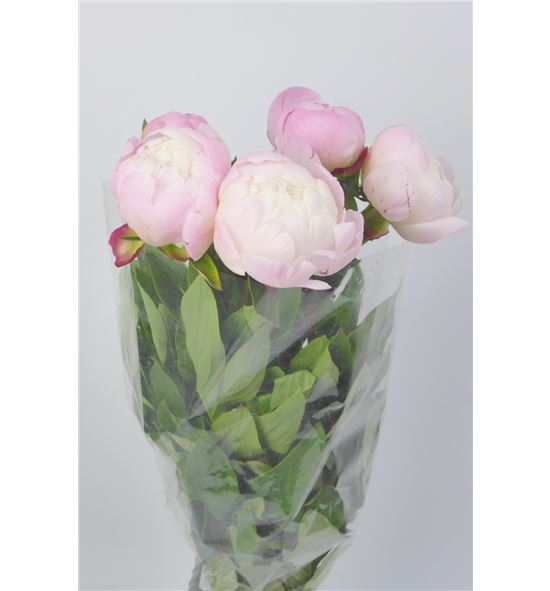 Paeonia gardenia x5 65 - PAEGAR