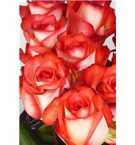 Rosa hol blush 80 - RGRBLUS