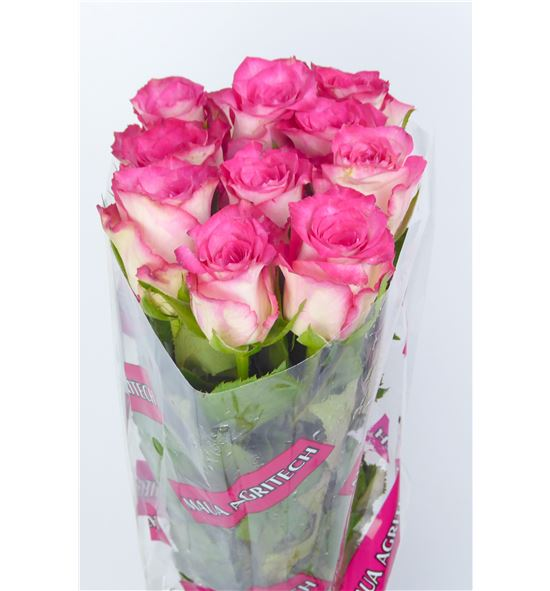 Rosa hol double date 60 - RGRDOUDAT