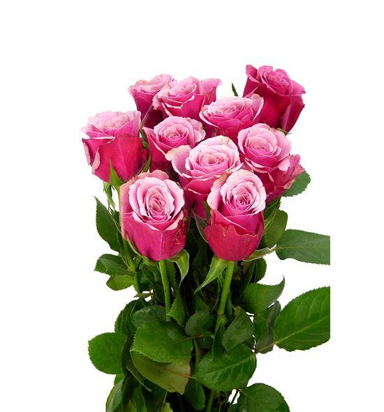 Rosa hol authentic 50 - RGRAUT