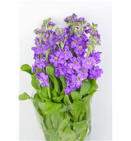 Matthiola figaro lavendel 50 - MATFIGLAV