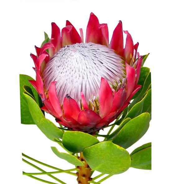 Protea cynaroides madiba 60 - PROCYN