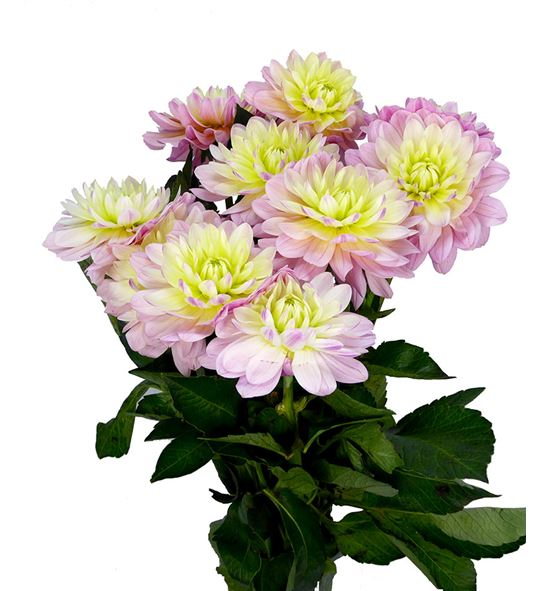 Dahlia dec pink magic 50 - DAHPINMAG