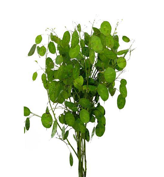 Lunaria ann paarse 60 - LUNANNPAA
