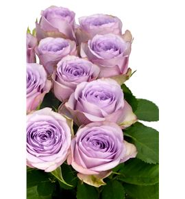 Rosa hol lullaby 60 - RGRLUL