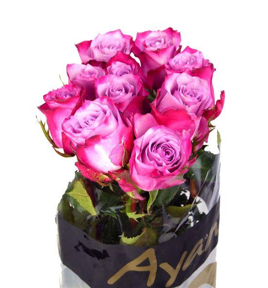 Rosa hol. deep purple 60 - RGRDEEPUR