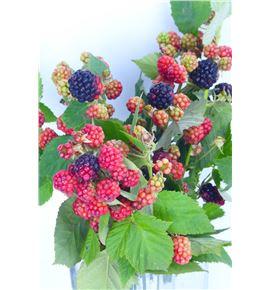 Rubus chester 40 - RUBCHE