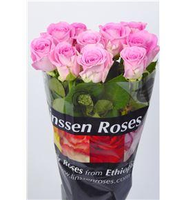 Rosa hol. aqua 70 - RGRAQU