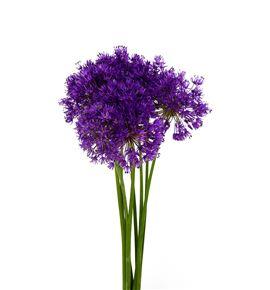 Allium purple sensation 70 - ALLPURSEN
