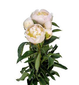 Paeonia honey gold x5 60 - PAEHONGOL
